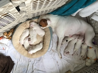 Mother of the Boxer puppies born on 09/28/2018