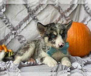 Pomsky-Shiba Inu Mix Puppy for sale in LANCASTER, PA, USA