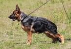 German Shepherd Dog Puppy For Sale in NORTH BERGEN, NJ