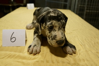 Great Dane Puppy for sale in CONROE, TX, USA
