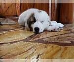 Puppy 9 Anatolian Shepherd-Maremma Sheepdog Mix