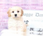 Bert Very Cute Male F1B CavaPoo Puppy