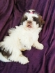 Shih Tzu Puppy For Sale in CANON CITY, CO, USA