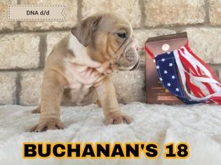 English Bulldogge Puppy For Sale in SANTA MARIA, TX, USA