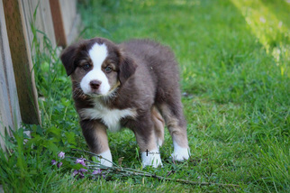 Miniature Australian Shepherd Puppy For Sale in MOUNT VERNON, WA, USA