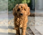 Small #6 Australian Labradoodle