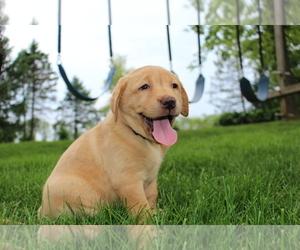 Labrador Retriever Puppy for Sale in FRYSTOWN, Pennsylvania USA