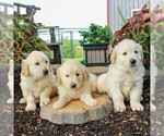 Small #1 English Cream Golden Retriever
