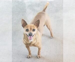 French Bullhuahua Dog for Adoption in PHOENIX, Arizona USA