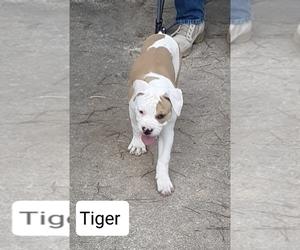 American Bulldog Puppy for Sale in OPELIKA, Alabama USA