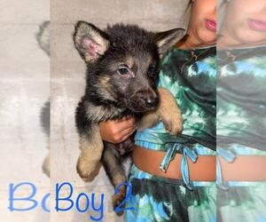 German Shepherd Dog Puppy for Sale in MILL RUN, Pennsylvania USA