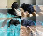 Puppy 12 Great Dane