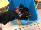 Rottweiler Puppy For Sale in PORT SAINT LUCIE, FL