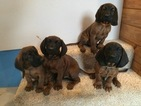 Bavarian Mountain Hound Puppy For Sale in SPARTA, MI, USA