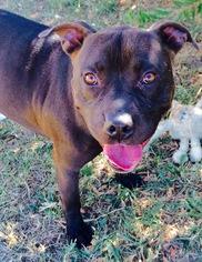 NO FEE - Hershey - American Bulldog / Mixed (short coat) Dog For Adoption
