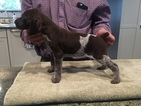 German Shorthaired Pointer Puppy For Sale in PASO ROBLES, CA
