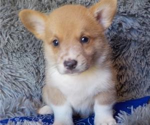 Pembroke Welsh Corgi Puppy for Sale in MANSFIELD, Missouri USA
