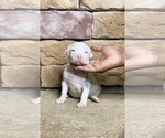 Puppy 7 American Bully