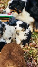 Australian Shepherd Puppy For Sale in BECKLEY, WV, USA