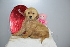 Golden Retriever Puppy For Sale in FREDERICKSBURG, Ohio,
