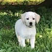 Labrador Retriever Puppy For Sale in NEW ALBANY, PA, USA