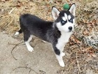 Siberian Husky Puppy For Sale in UNION, MO,