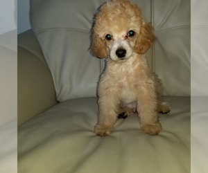 Maltipoo Puppy for Sale in LOS ANGELES, California USA