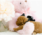 Small #5 Goldendoodle (Miniature)
