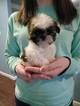 Shih Tzu Puppy For Sale in WASHBURN, MO, USA