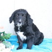 Bernese Mountain Poo-Goldendoodle Mix Puppy For Sale in GAP, PA, USA