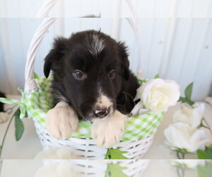 Border Collie Puppy for sale in WEST BRANCH, MI, USA