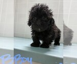 Small #4 Poodle (Toy)-Yorkshire Terrier Mix
