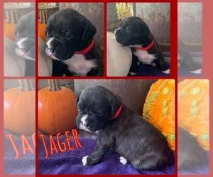 Boxer Puppy for Sale in GASTON, Oregon USA