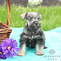 Schnauzer (Miniature) Puppy For Sale in GAP, PA
