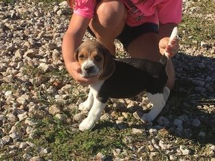 Beagle Puppy For Sale in HITCHCOCK, TX