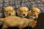 Labrador Retriever Puppy For Sale in BURNS TOWNSHIP, MN, USA