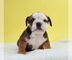 Puppy 12 Bulldog