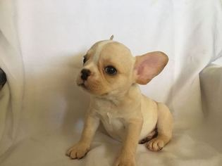 Hi My Name Is Buddy And I Am A Cream Frenchie