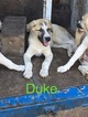 Anatolian Shepherd Puppy For Sale in GAINESVILLE, FL, USA