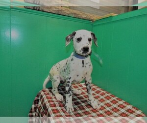 Dalmatian Puppy for sale in PATERSON, NJ, USA