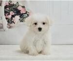 Puppy 3 Maltese