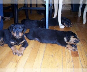 Rottweiler Puppy for Sale in FITZWILLIAM, New Hampshire USA