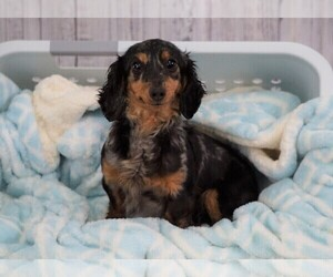 Dachshund Puppy for sale in FREDERICKSBG, OH, USA