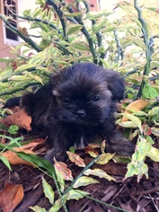 Shih Tzu Puppy For Sale in PEMBROKE PINES, FL