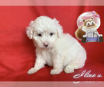 Small #4 Maltese-Maltipoo Mix