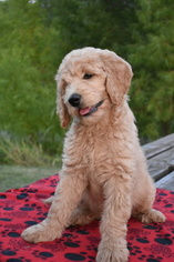 Goldendoodle Puppies and Dogs for Sale in China Spring, TX, USA
