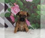 Puppy 2 Chorkie