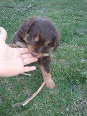 Australian Shepherd Puppy For Sale in LENHARTSVILLE, PA