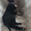 Great Dane Puppy For Sale in HUNTSVILLE, TX, USA