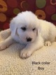 AKC Registered Great Pyrenees puppies